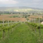 vigna-bio-umbria-vino